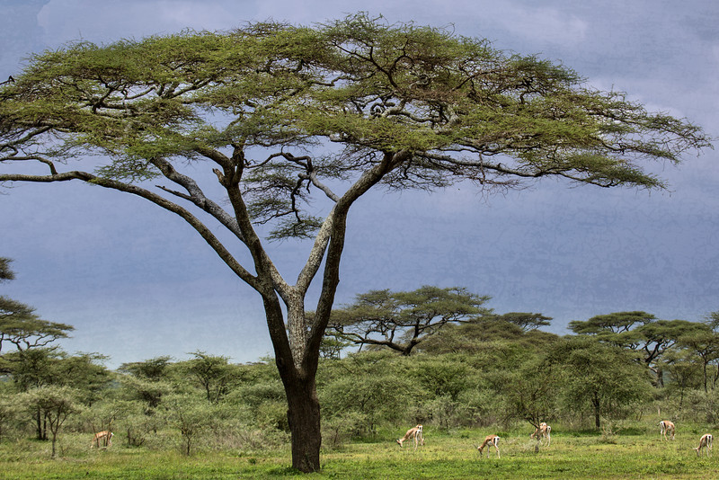 The broad expanse of a beautiful Acacia tree.
