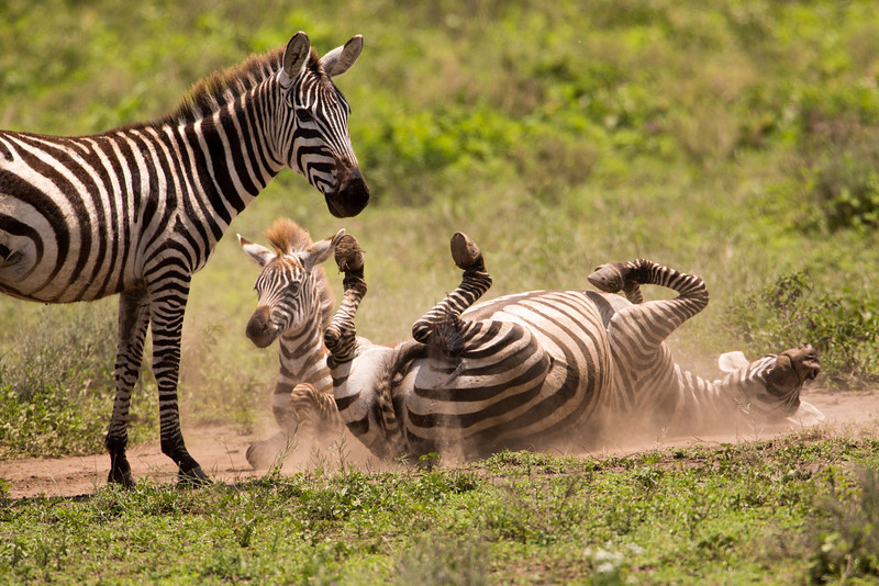 Zebra are keen dust-bathers and often roll in the dirt, the purpose of which is thought to control parasites.