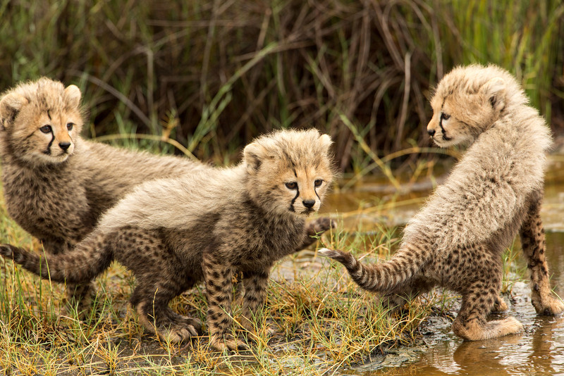 When the mother ran away because of our presence, these three cubs began crying and didn't know what to do.
