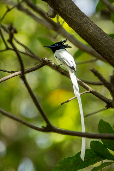 This long-tailed bird is called an Asian paradise flycatcher.