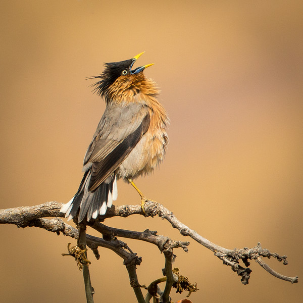 Brahminy starling calling for its mate.