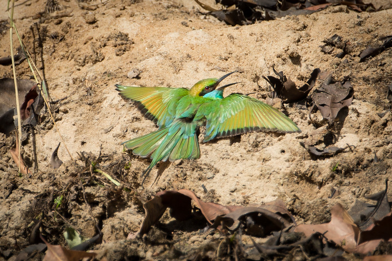 Blue-cheeked bee-eater sunning herself on the ground. Exactly why birds do this is not clear.