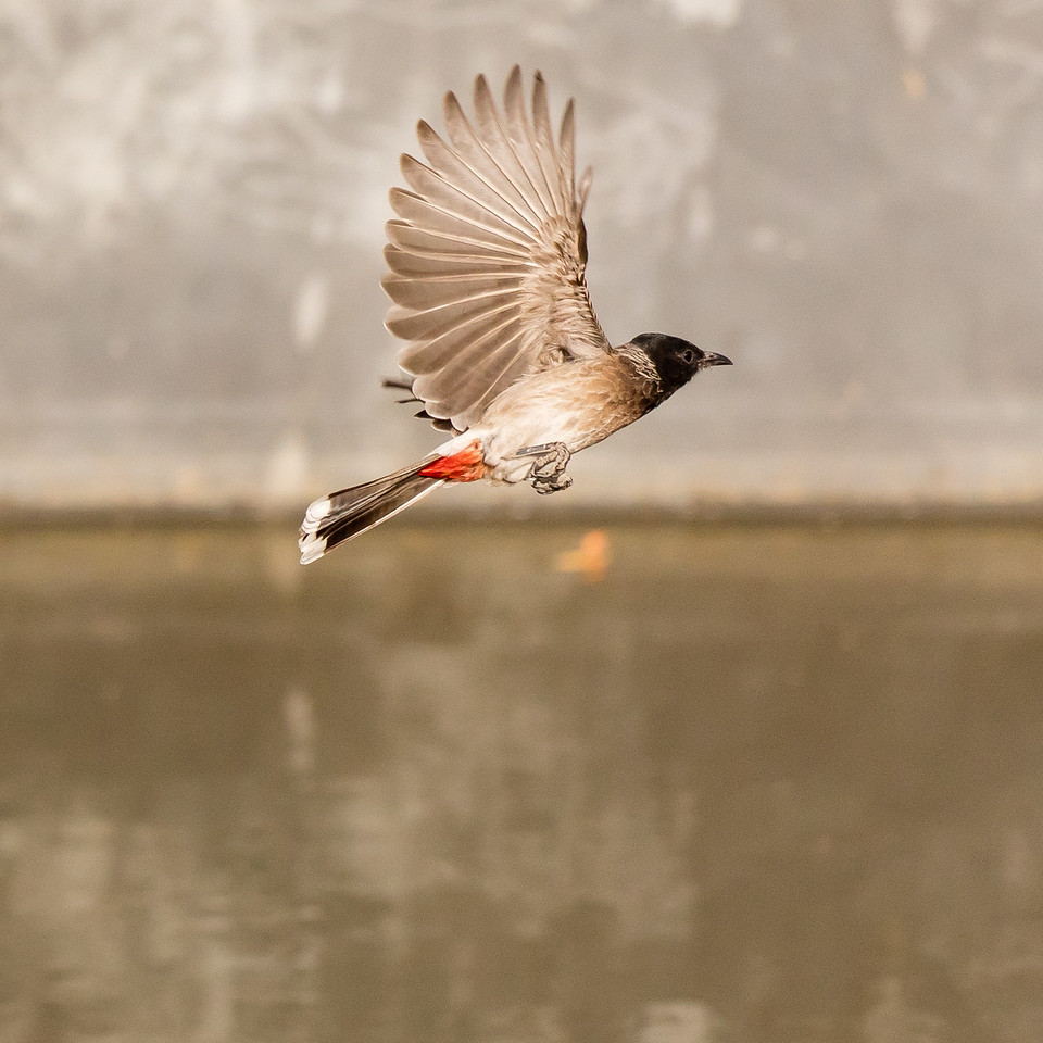 Red-vented bulbul in flight.