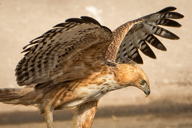 Tawny eagle about to pounce on a small rodent.