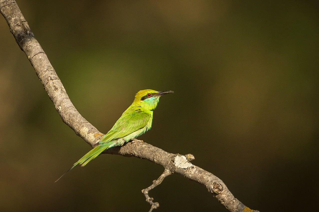 Another view of a blue-cheeked bee-eater.