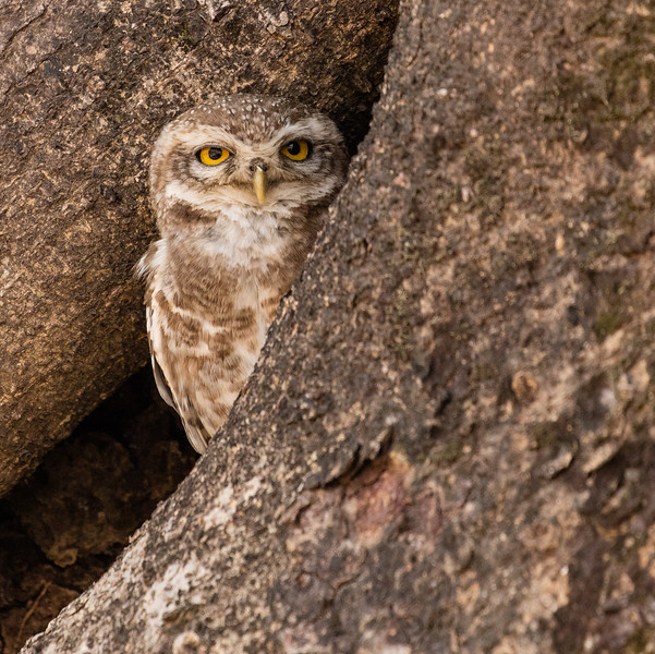 "As we were leaving Bandhavgarh National Park we spotted this very small ""spotted owlett"" in the crack of a tree."