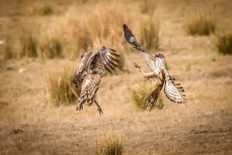 A jackal had momentarily abandoned the spotted deer it killed when two tawny eagles flew in and battled each other for the free meal.