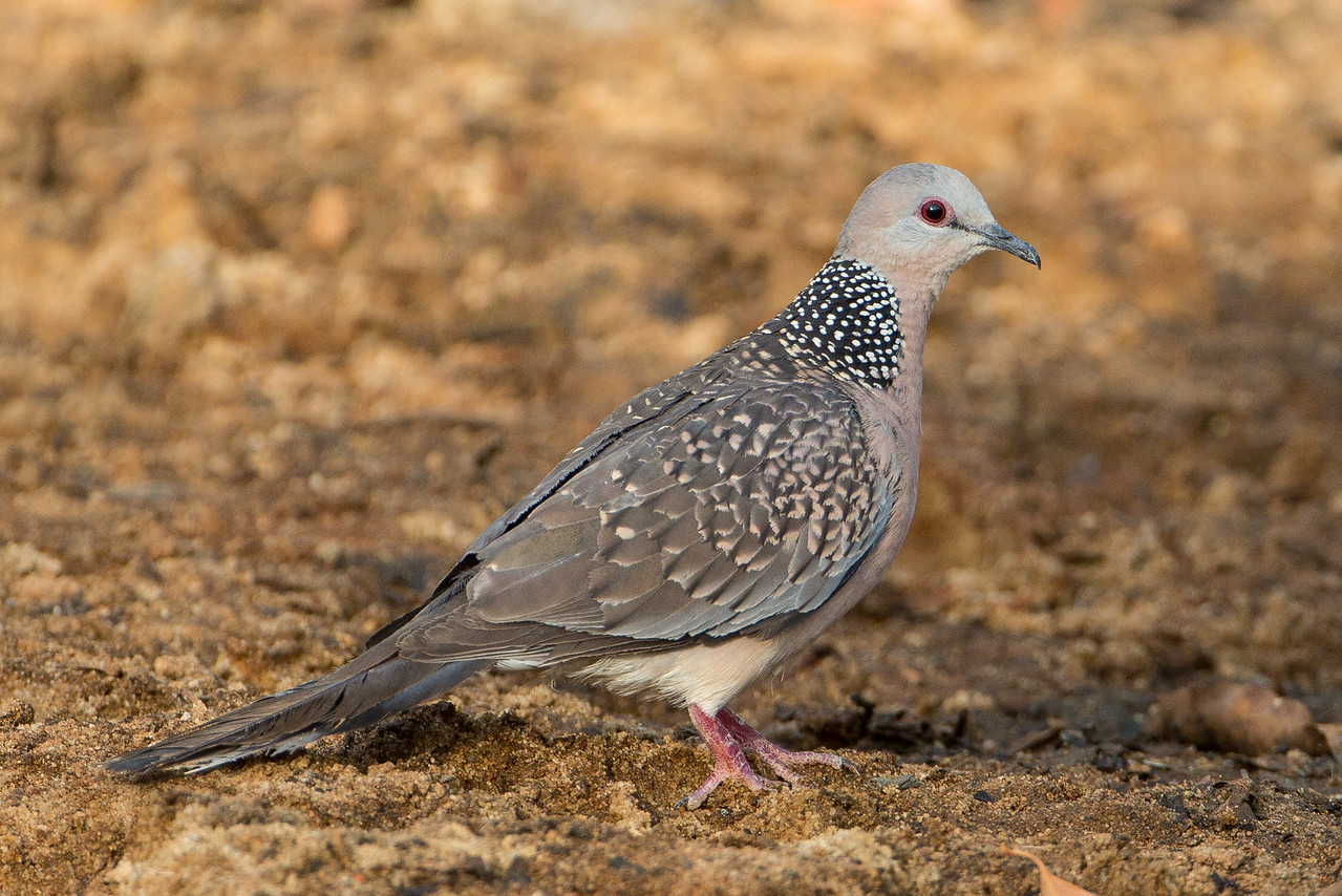The common spotted dove, often ignored for more exotic birds, but is an attractive species in of itself.