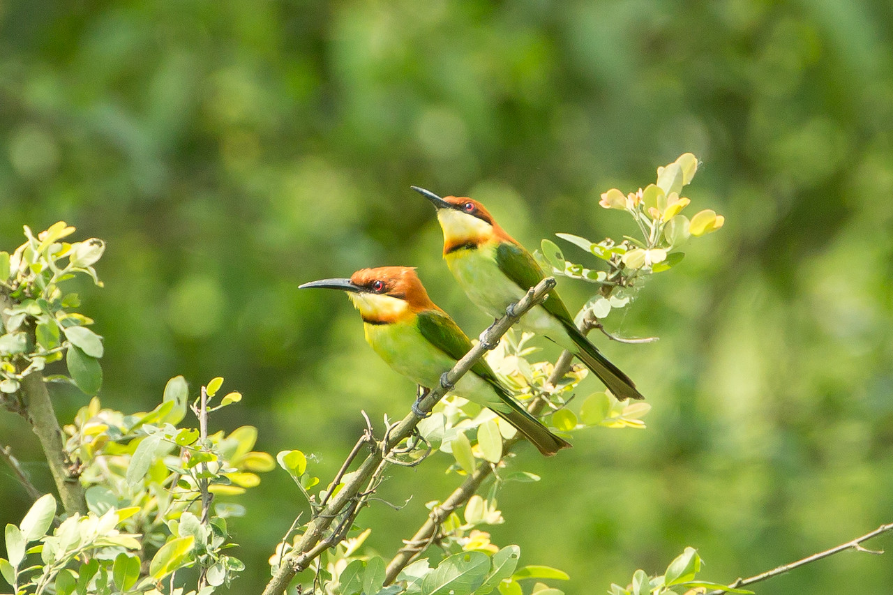 A pair of chestnut-headed bee-eaters in Kaziranga National Park.