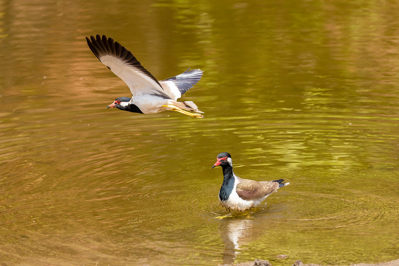 Red-wattled lapwings in Bandhavgarh National Park.