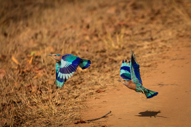 Pair of Indian rollers taking off.