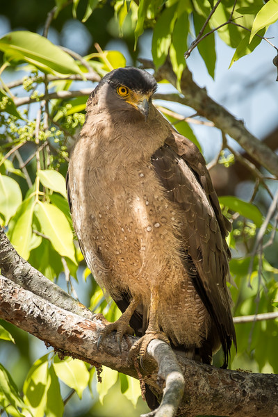 Crested serpent eagle who likes to feed on snakes.