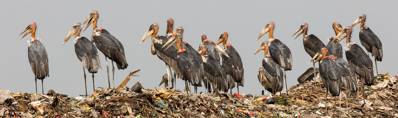 Flock of greater adjutant storks roosting on a huge mound of city garbage in Assam, India.