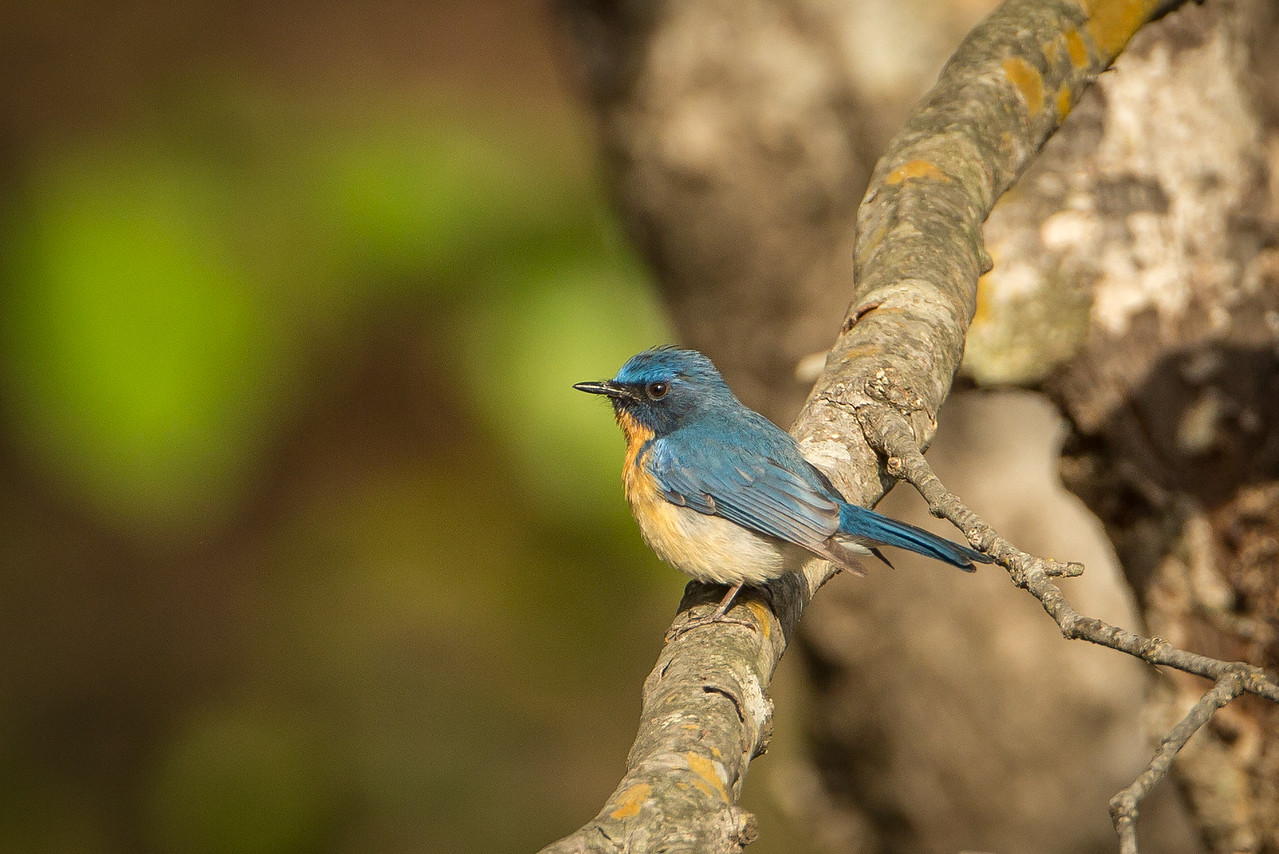 Indian blue robin in Bandhavgarh National Park.