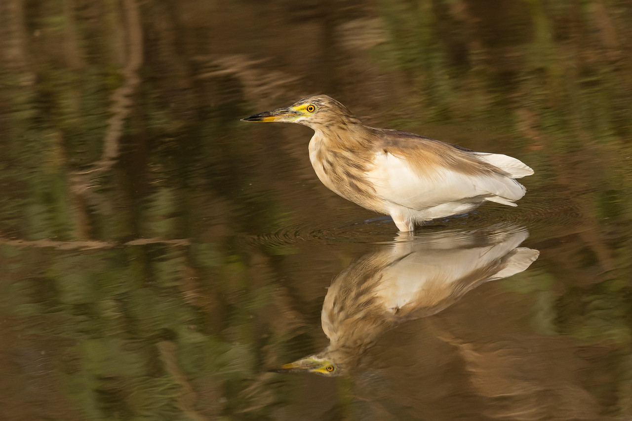 Yellow-eyed bittern reflecting on life.