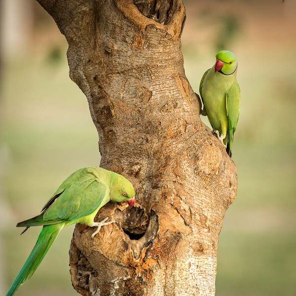 A pair of Indian ringneck parakeets exploring a possible new home.