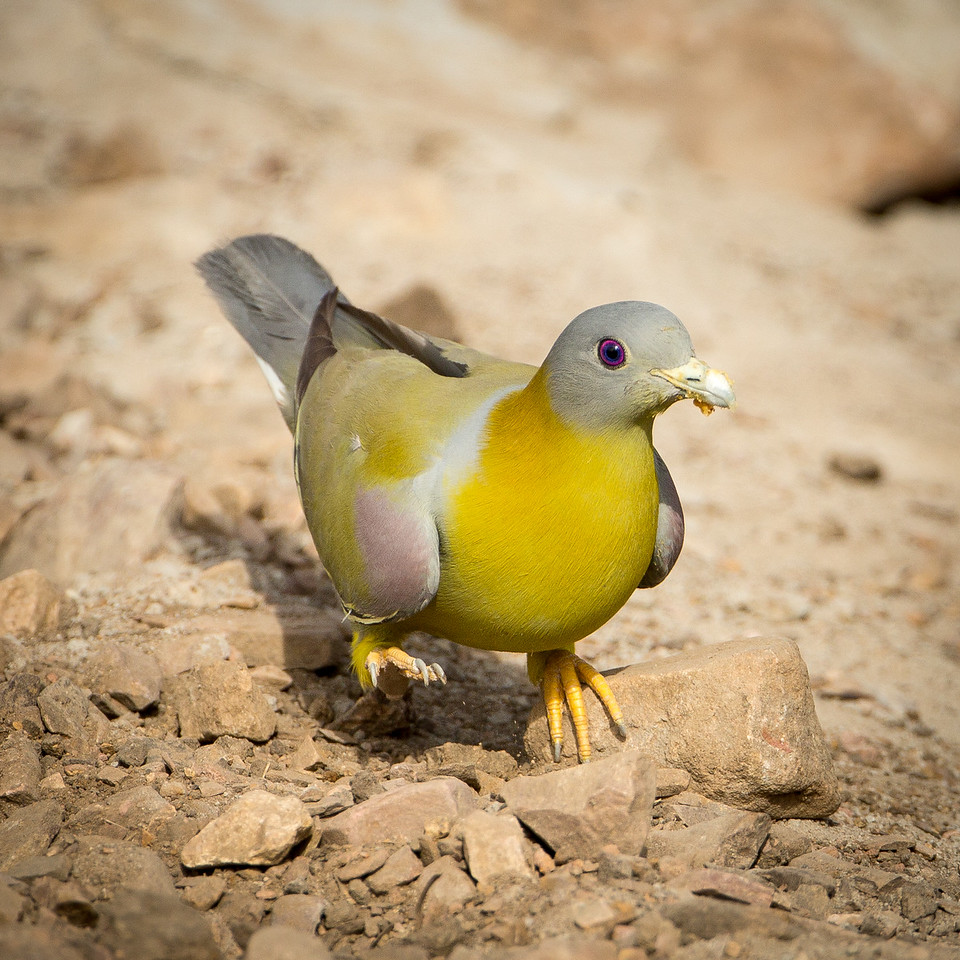 Yellow-footed green pigeon.