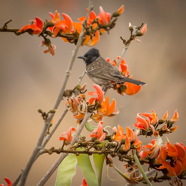 Red-vented bulbul photographed in Ranthambhore Tiger Preserve.