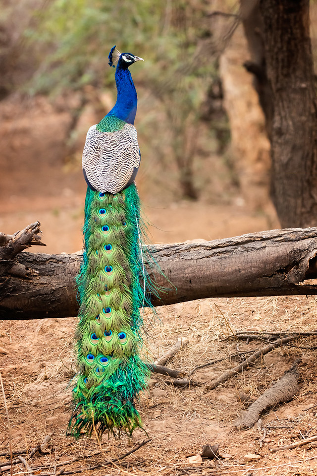 You can see why the peacock is India's national bird.
