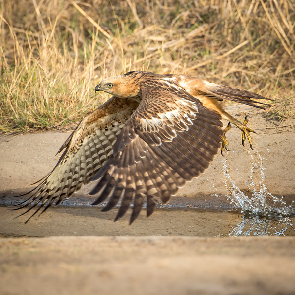 Tawny eagle leaving the watering hole.