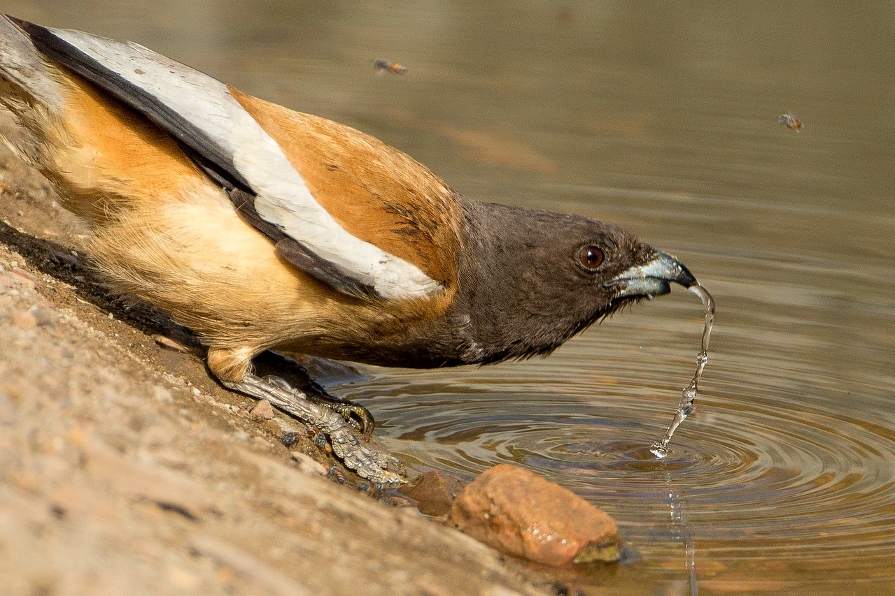 Rufous treepie slurping up water.