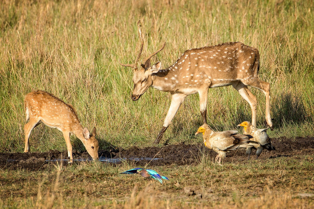 Menagerie of wildlife at a small watering hole in  Bandhavgarh National Park. Spotted deer, a pair of Egyptian  vultures, and an Indian roller.