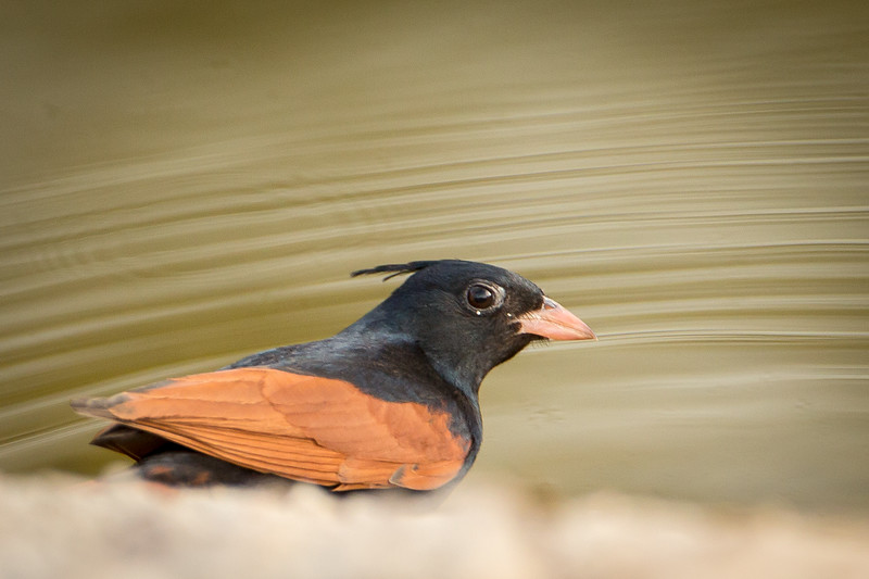 Crested bunting at a watering hole.