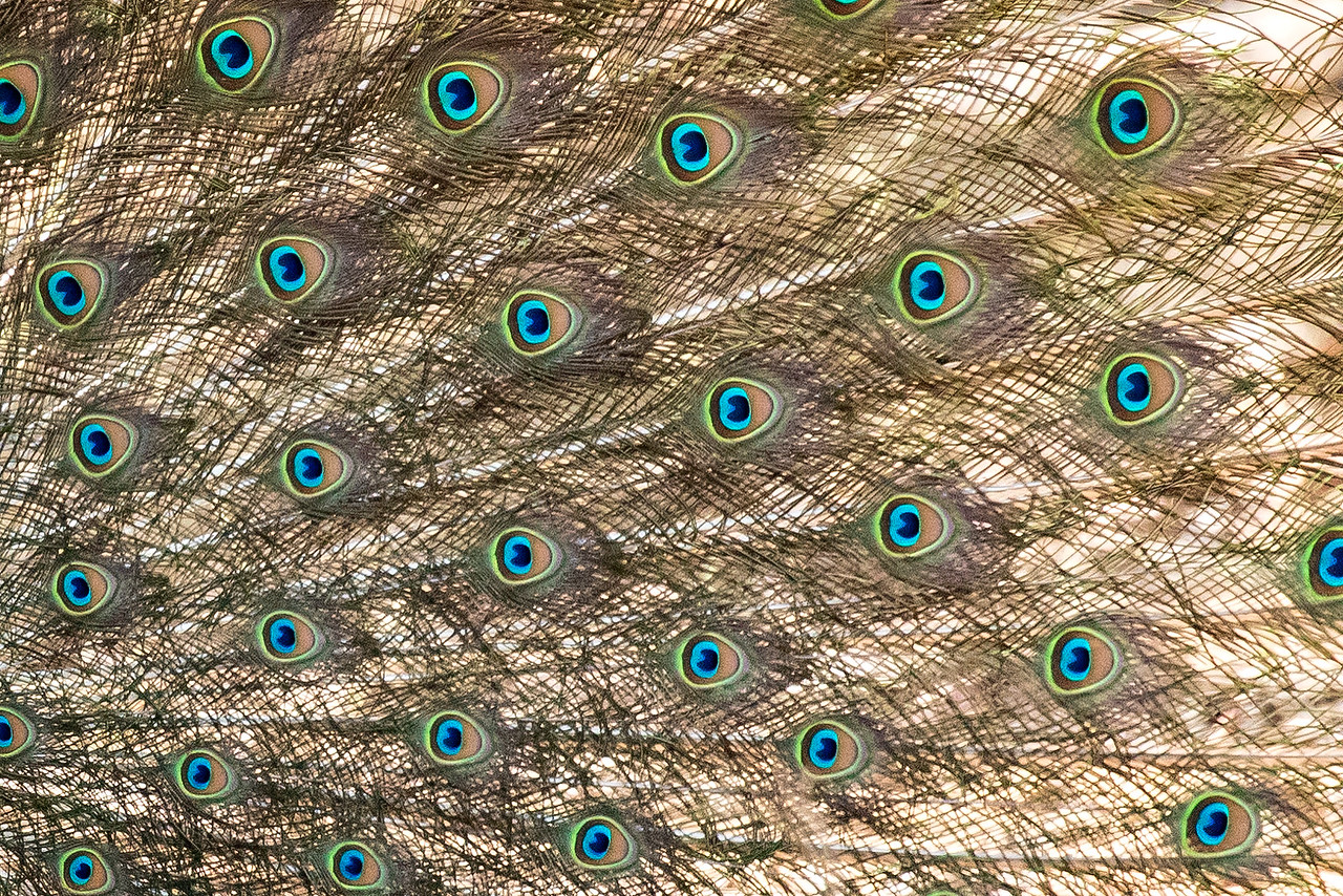 "The ""eyes"" in the fanned feathers."