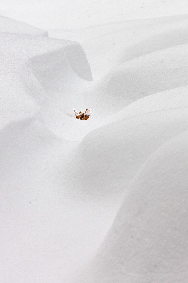 A leaf among the snow drifts