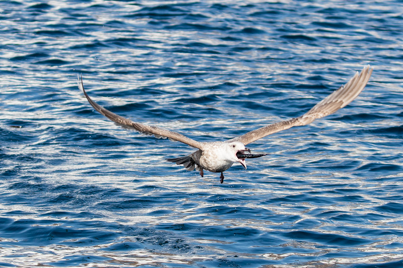 Seagull devouring its catch