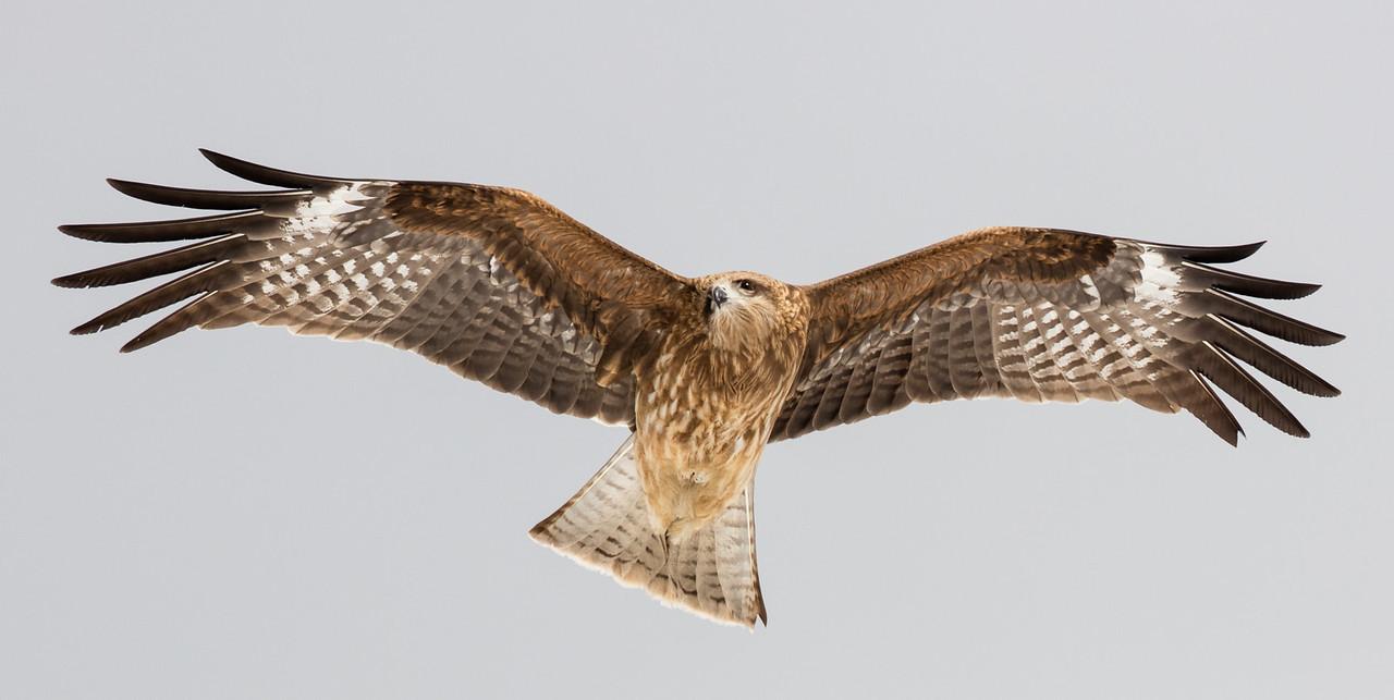 Black kite passing overhead
