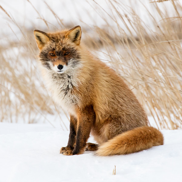 Another red fox