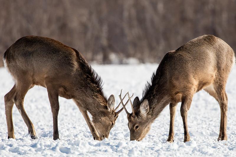 Local deer