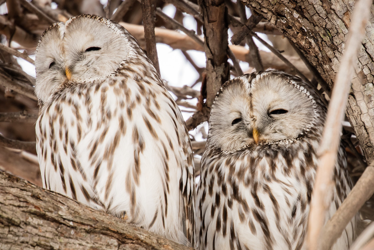 Ural owl with friend