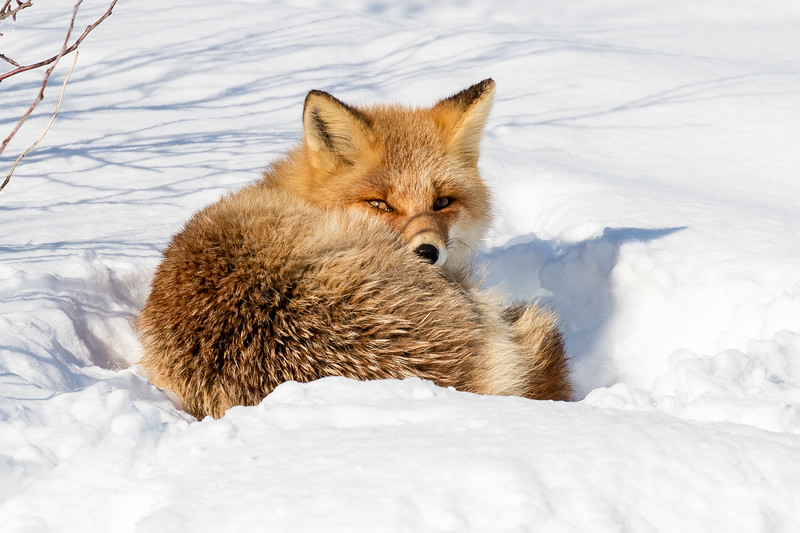Red fox curled up for a nap but disturbed by our presence