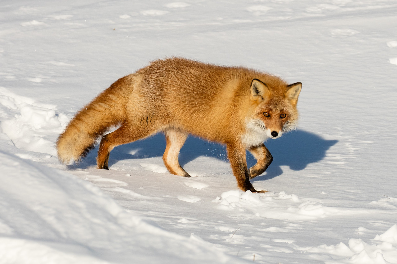 Red fox on the move