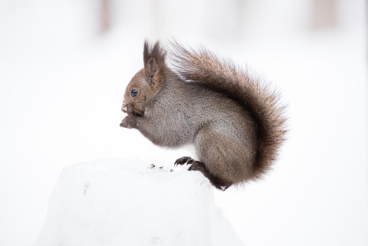 Local squirrel