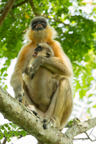 Capped langurs high in the trees.