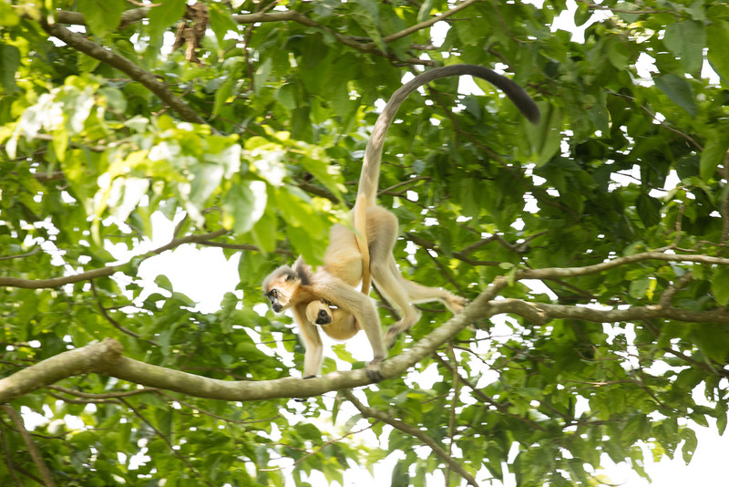 These monkeys are capped langurs which we saw in Kaziranga National Park.