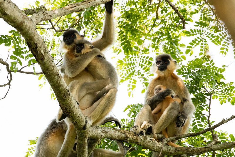 More capped langurs.