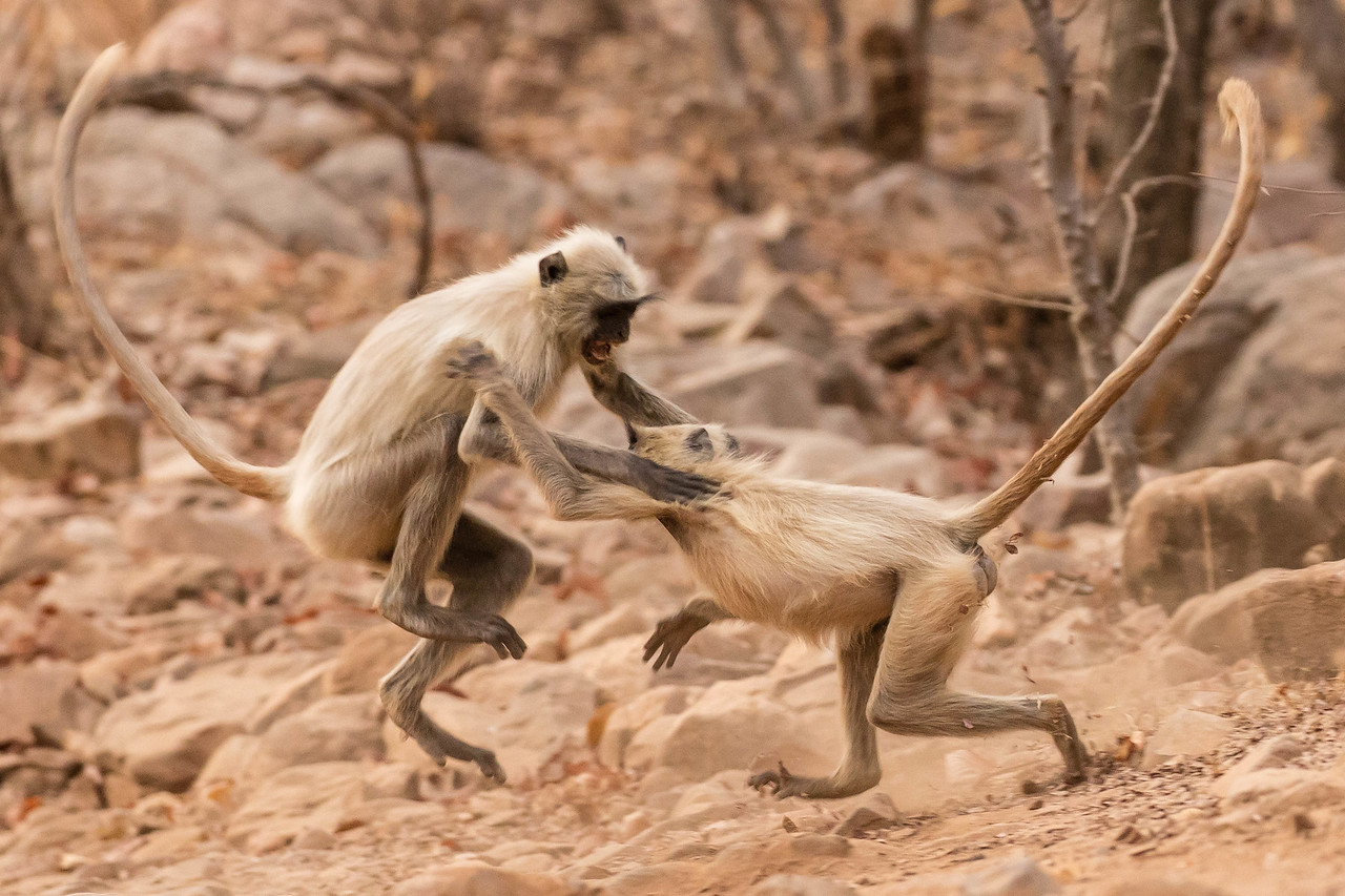 Black-faced monkey chasing each other.
