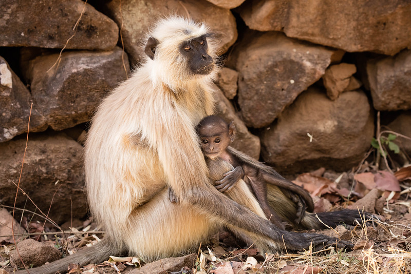 Black-faced monkey and infant
