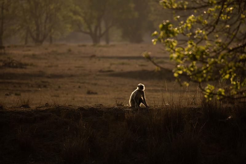 Rim lit lonely monkey.