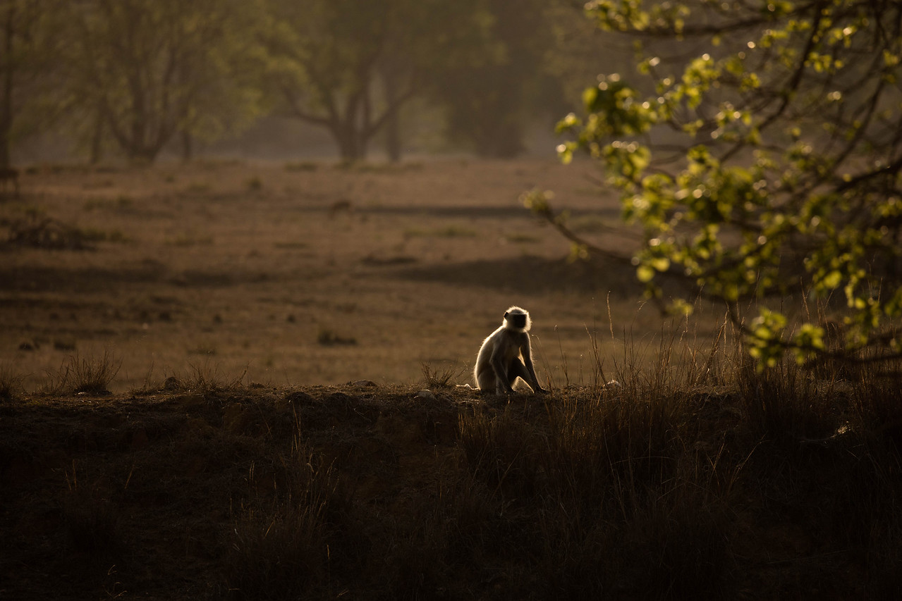 Rim lit lonely monkey.