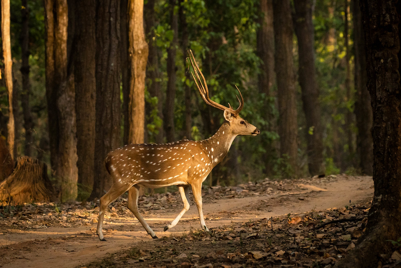 Spotted deer in the morning light.