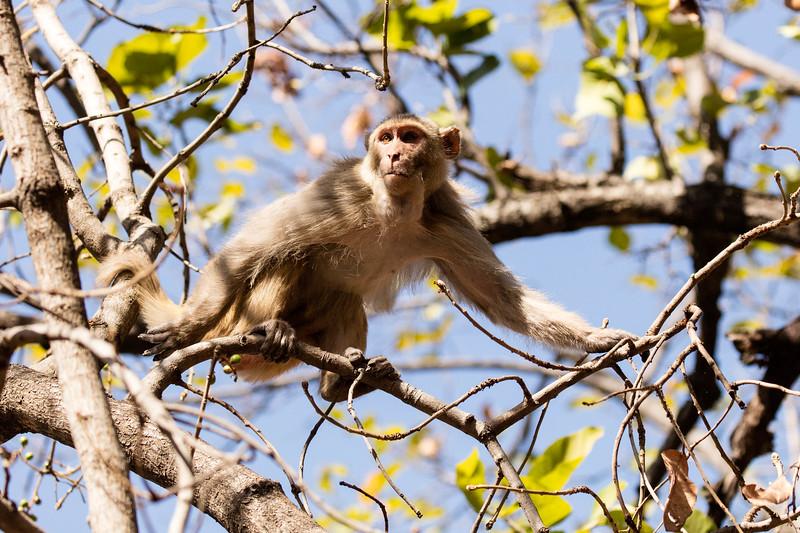 Rhesus monkey in Bandhavgarh National Park