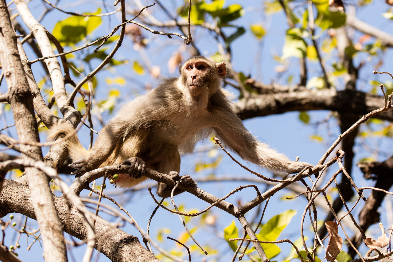 Rhesus monkey in Bandhavgarh National Park