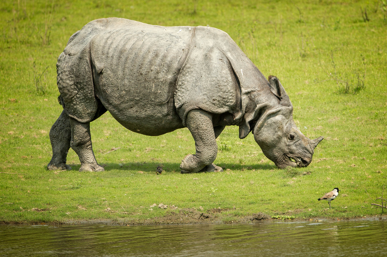 The Indian rhino with the heavy shielding looks like a knight with all his armor on.