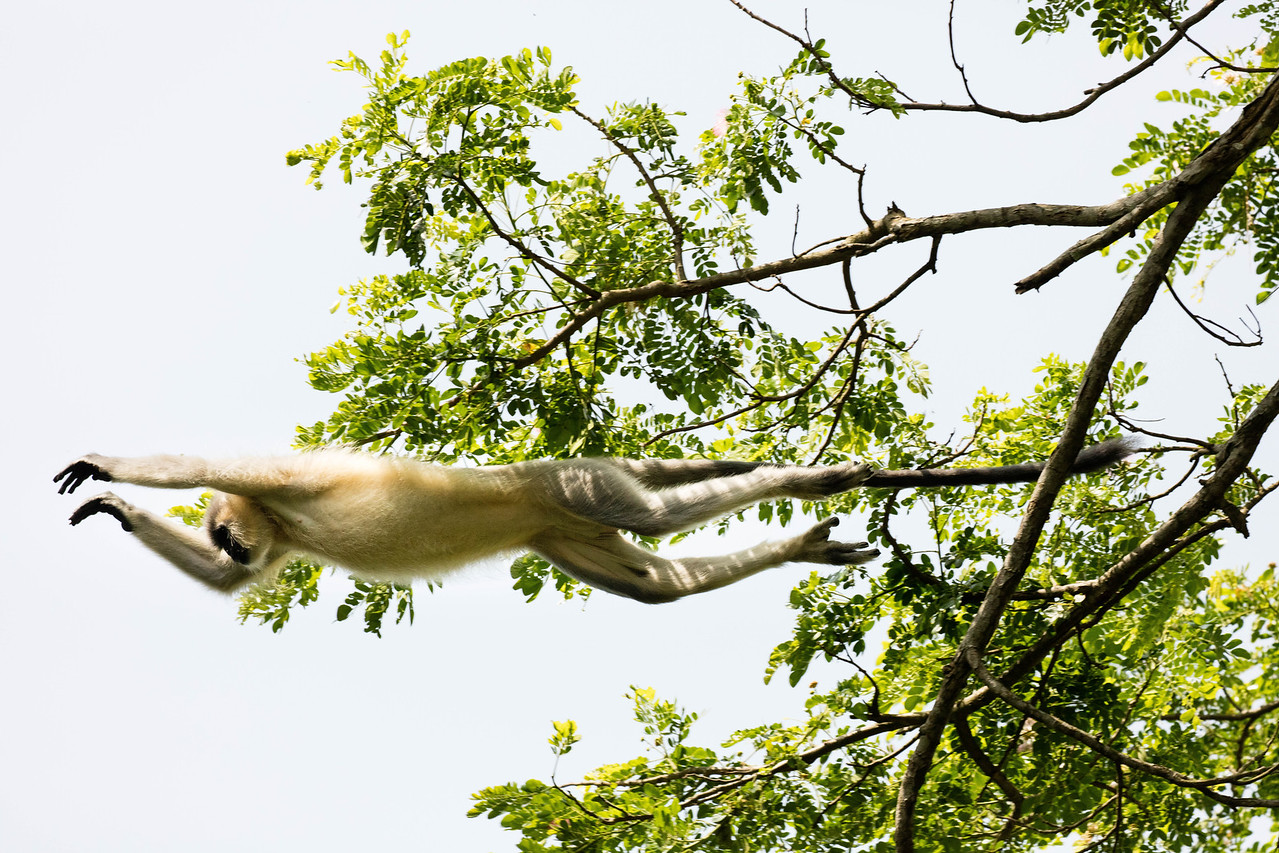 Leaping langur in Kariranga National Park.
