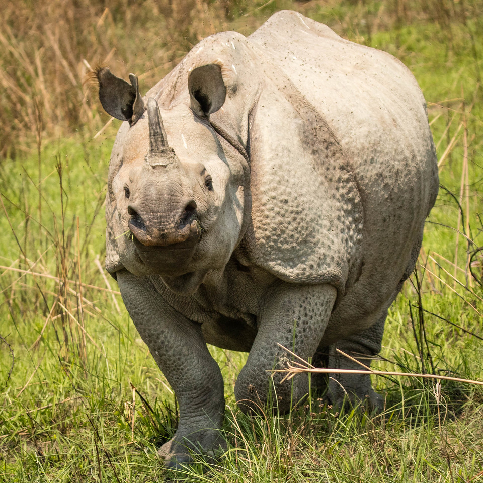 Indian rhinocerous -- he started charging and we stepped on the gas.